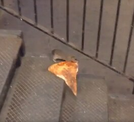 Pizza Rat in the new york subway dragging pizza up the subway stairs