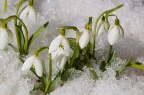Snowdrop flowers emerging from the snow